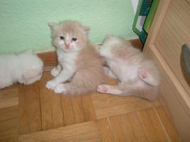 Foto 5 perserkatzen Babys