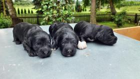 Foto 3 portugiesischeWasserhunde-Welpen