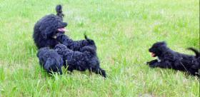 Foto 2 portugiesischeWasserhundeWelpen