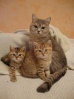 Foto 2 reinrassige BKH-babies mit Papieren