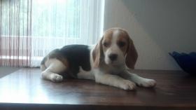 reinrassige Beagle Welpen