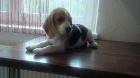 Foto 2 reinrassige Beagle Welpen