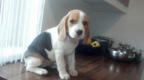 Foto 3 reinrassige Beagle Welpen