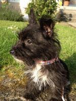 reinrassige Cairn Terrier Hündin 12 Wochen