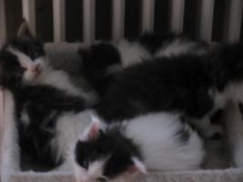 Foto 2 reinrassige Maine Coon Babys Inzuchtswert 6,81% m.Stammbaum