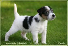 Foto 3 reinrassige Parson Russell Terrier Welpen Zucht vom Niggeland in NRW/GT