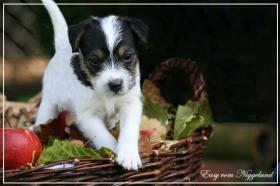 Foto 5 reinrassige Parson Russell Terrier Welpen Zucht vom Niggeland in NRW/GT