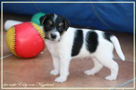 Foto 9 reinrassige Parson Russell Terrier Welpen Zucht vom Niggeland in NRW/GT