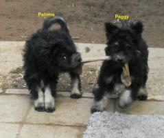 Foto 4 reinrassige Pumi wegen aufgabe der Zucht zu vergeben!!