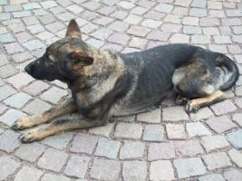 Foto 2 reinrassige Schäferhund- Hündin mit Papieren (Yanny vom Haus Salztalblick)
