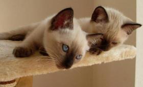 reinrassige Siamkätzchen mit strahlend blauen Augen