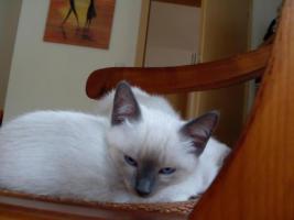 Foto 3 reinrassige Siamkätzchen mit strahlend blauen Augen