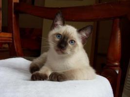 Foto 4 reinrassige Siamkätzchen mit strahlend blauen Augen