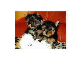 reinrassige Yorkshire Terrier Welpen (kleinbleibend)