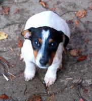 Foto 2 reinrassige jack russell terrier