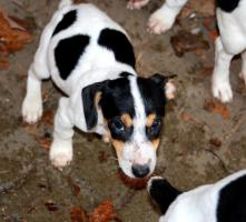 Foto 3 reinrassige jack russell terrier