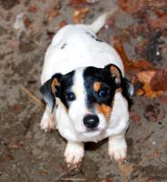 Foto 4 reinrassige jack russell terrier