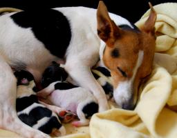 Foto 5 reinrassige jack russell terrier