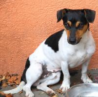 Foto 6 reinrassige jack russell terrier