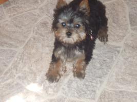 Foto 2 reinrassige mini yorkshire terrier hündin abzugeben