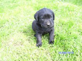 reinrassige schwarze Labradorwelpen