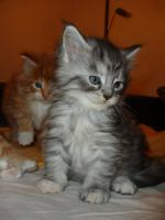 Foto 3 reinrassige typvolle maine coon babys