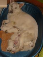 Foto 2 reinrassige weiße Schäferhundwelpen abzugeben