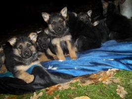 reinrassige, deutsche Schäferhundswelpen