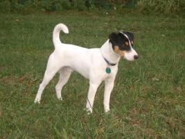 reinrassiger Deckrüde (Parson Russell Terrier)