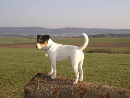 Foto 3 reinrassiger Deckrüde (Parson Russell Terrier)