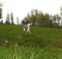Foto 4 reinrassiger Deckrüde (Parson Russell Terrier)