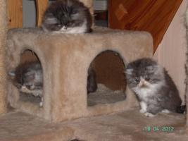 Foto 4 reizende Perserkätzchen