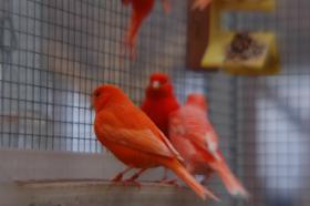 rote Farbkanarien abzugeben