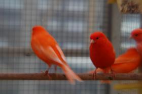 Foto 2 rote Farbkanarien abzugeben