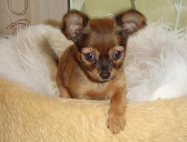 russische Toy-Terrier-M�dchen abzugeben