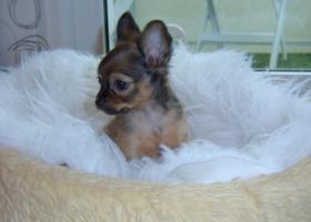 Foto 2 russische Toy-Terrier-M�dchen abzugeben