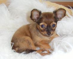Foto 3 russische Toy-Terrier-M�dchen abzugeben