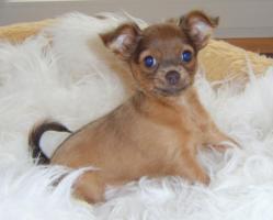 Foto 4 russische Toy-Terrier-M�dchen abzugeben