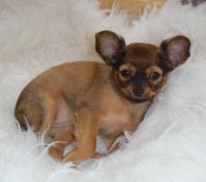 Foto 5 russische Toy-Terrier-M�dchen abzugeben