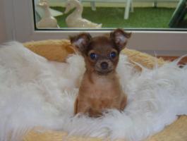 Foto 6 russische Toy-Terrier-M�dchen abzugeben