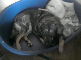 Foto 3 schäferhund mischling