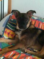 Foto 2 schäferhund mischling in liebevolle hände abzugeben