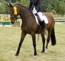 schicke 14-jährige Warmblutstute, 165cm, Freizeitpferd, Dressur