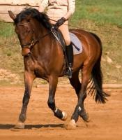 Foto 2 schicke 14-jährige Warmblutstute, 165cm, Freizeitpferd, Dressur