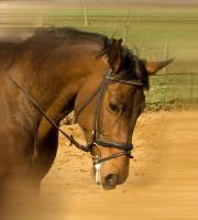 Foto 4 schicke 14-jährige Warmblutstute, 165cm, Freizeitpferd, Dressur
