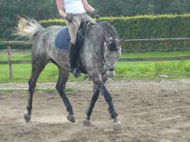 Foto 3 schimmelwallach:Sport;Dressur;Freizeit;Voltipferd