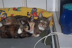 Foto 2 schmuse Katze zu vergeben!