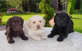 schöne Labrador Welpen verkaufen