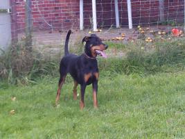 Foto 2 schöner junger Dobermann Rottweilermix Rüde