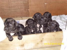 schwarze Deutsche Doggenwelpen